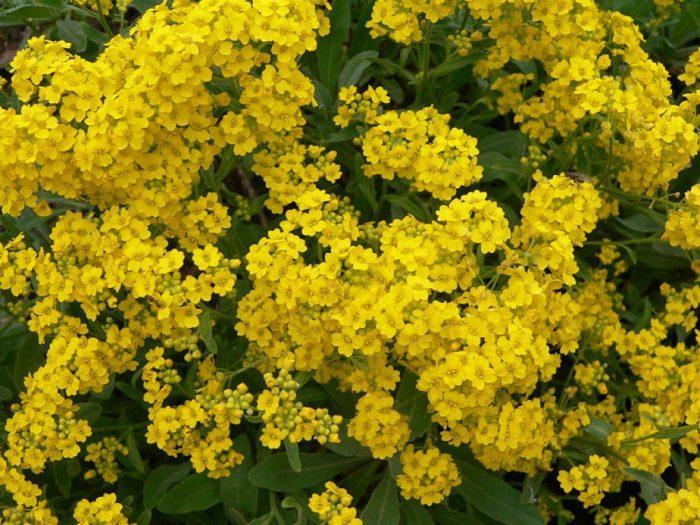 Цветок алиссум – уход и посадка в открытом грунте, сорта с фото