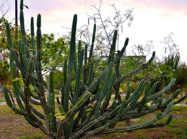 Цереус перуанский 25 фото посадка и уход в домашних условиях особенности монстрозной и других форм кактуса