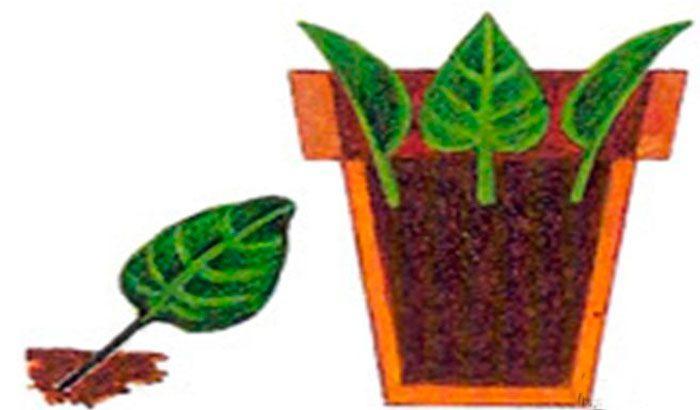 Размножение деревьев и кустарников черенками