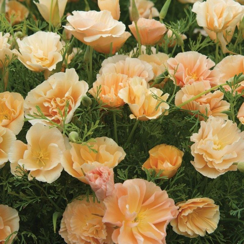 Эшшольция: выращивание из семян, когда сажать