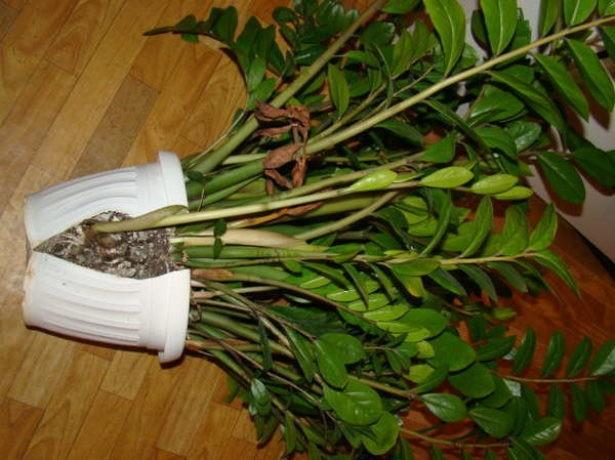 Под тяжестью листьев растения горшки из пластика часто опрокидываются, поэтому для пересадки лучше использовать тяжелые емкости из природных дышащих материалов