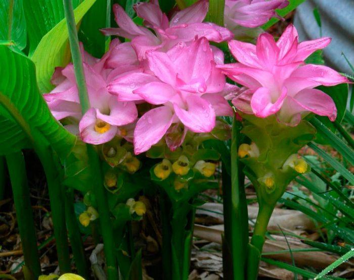 Цветок Куркума Curcuma. Применение, уход, размножение