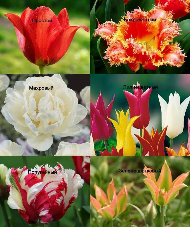 сорта тюльпанов фото и названия с описанием россии создали прибор