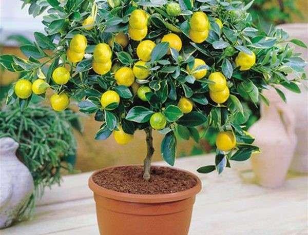 Цитрус Каламондин выращивание комнатного растения в домашних условиях