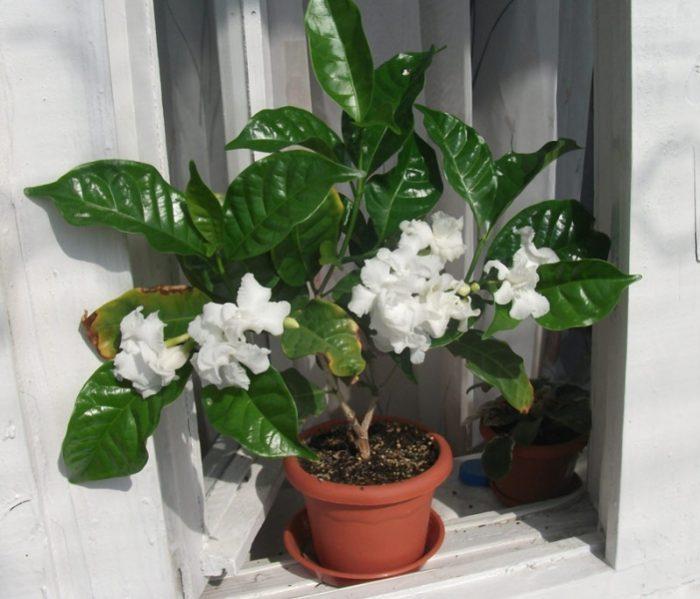 Амсония табернемонтана травянистые растения для открытого грунта