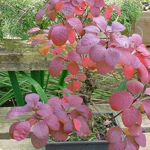 Скумпия кожевенная 48 фото посадка и уход за скумпией обыкновенной Грейс Лилла Янг леди и другие сорта парикового дерева