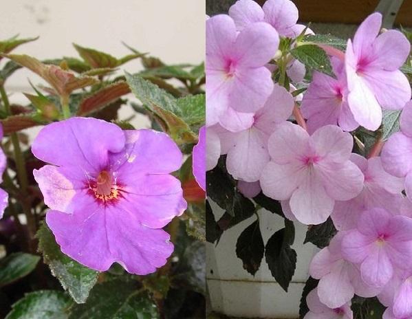 Цветок нематантус уход в домашних условиях