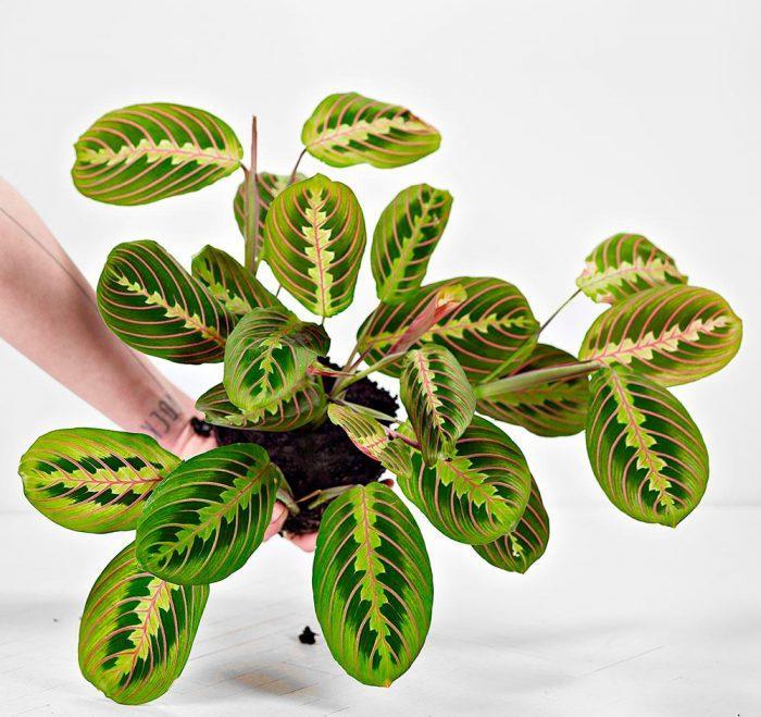 Как выращивать маранту в домашних условиях?