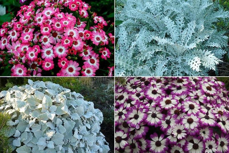 Цинерария серебристая посадка и уход, фото, место в ландшафтном дизайне, размножение и выращивание в открытом грунте