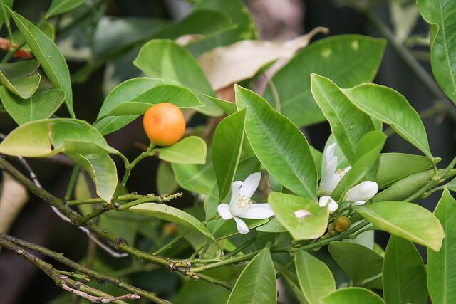 Цветущий каламондин