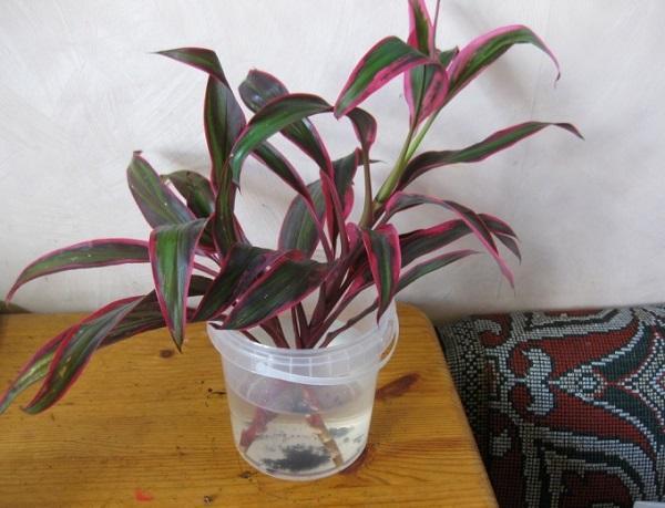 Кордилина 31 фото уход за цветком в домашних условиях виды с названиями фрутикоза и верхушечная Киви прямая и южная размножение комнатного растения