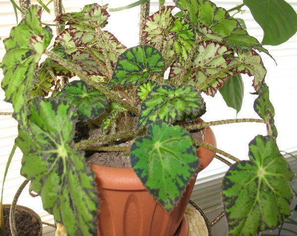 Уход в домашних условиях за цветком Бегония Королевская Рекс размножение