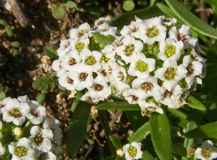 Алиссум многолетний 41 фото посадка и уход в открытом грунте желтые и другие сорта многолетника посадка цветка под зиму выращивание из семян